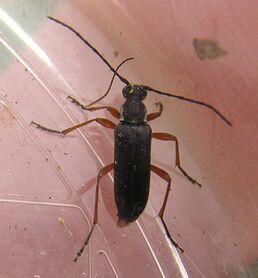 Grammoptera subargentata3