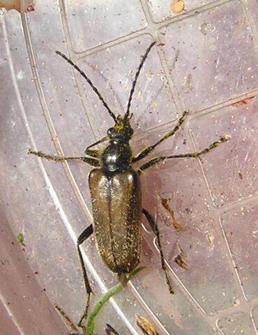 File:Gnathacmaeops pratensis2.jpg