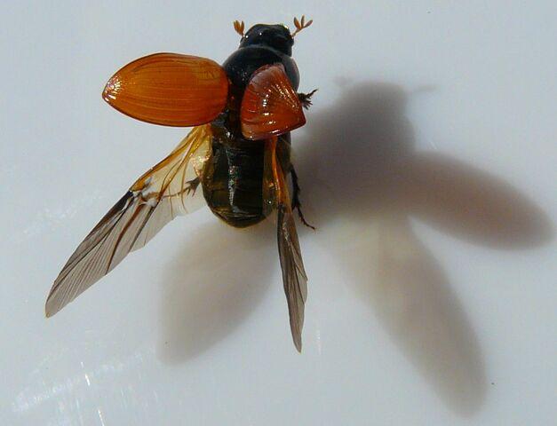 File:Aphodius fimetarius4.jpg