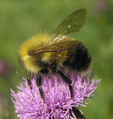 File:Bombus species bicolor.jpg