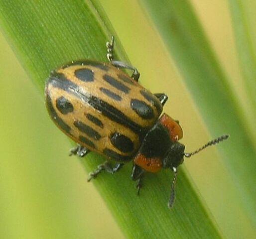 File:Cottonwood leaf beetle1.jpg