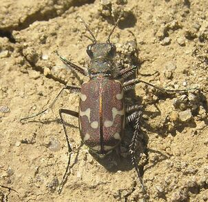 12-spotted tiger beetle 1