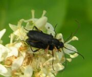 Grammoptera subargentata4