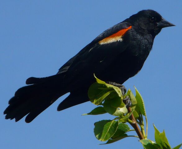File:Red-winged Blackbird male1.jpg