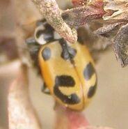 Parenthesis ladybird3