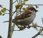 House Sparrow male1