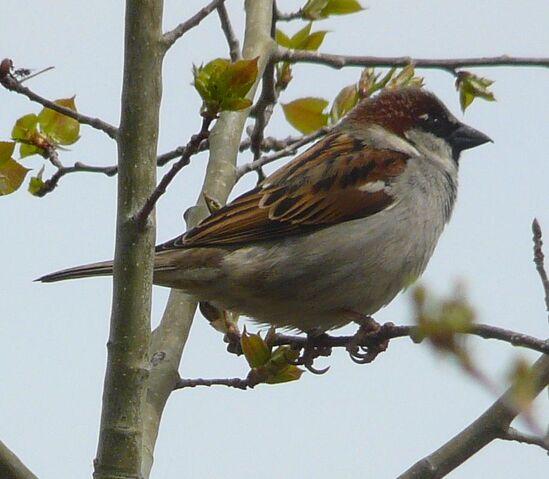 File:House Sparrow male1.jpg