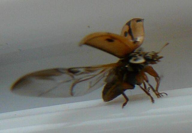 File:Hudsonian ladybird 2.jpg