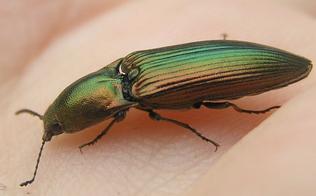Resplendant Click beetle 2