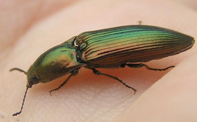 File:Resplendant Click beetle 2.png