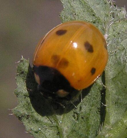 File:7-spotted ladybird5.jpg