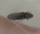 Tinyblackclickbeetle