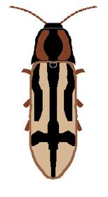 Crucifix click beetle diagram