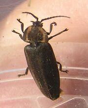 Ellychnia corrusca