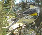 Yellow-rumped Warbler male Myrtle