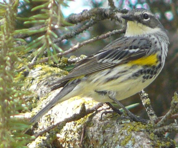 File:Yellow-rumped Warbler male Myrtle.jpg