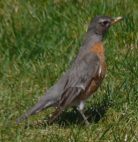 File:American Robin female1.jpg