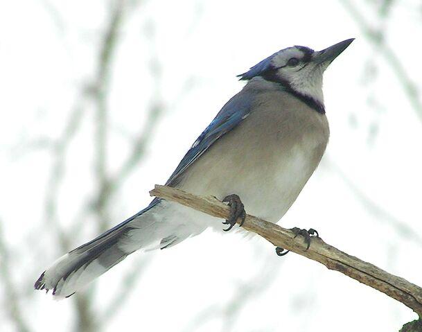 File:Blue Jay 1.jpg