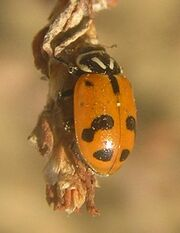 Sinuate ladybird 5