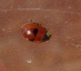 File:2-spotted ladybird12.jpg