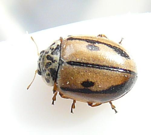 File:Hudsonian ladybird 1.jpg