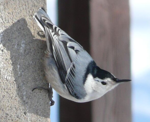 File:White-breasted Nuthatch1.jpg
