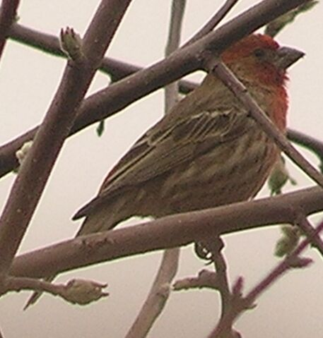 File:House Finch male 1.jpg