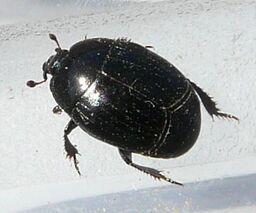 Hister beetle sp.2