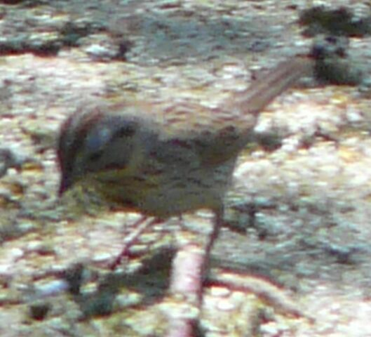 File:Lincoln's Sparrow2.jpg