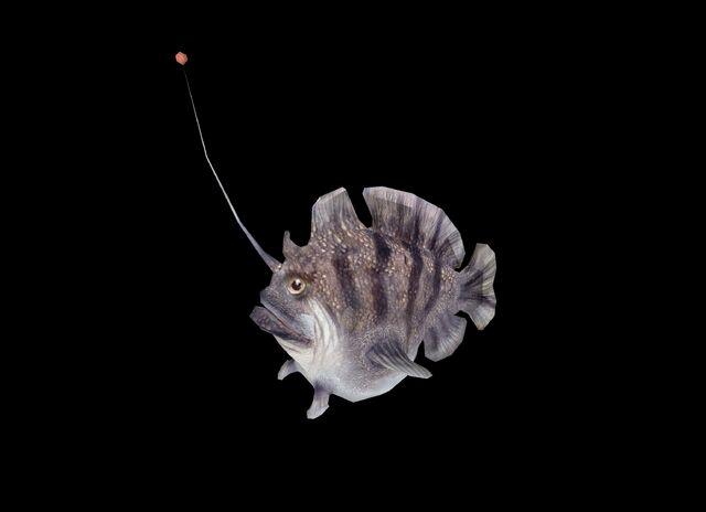 File:Angler Fish WP2 Profile.jpg