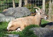 Bighorn Female