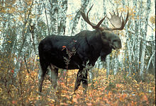 File:Male Moose.jpg