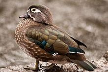 File:Wood Duck Female.jpg