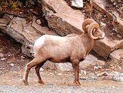 Bighorn Male