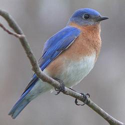 File:Eastern Bluebird.jpg