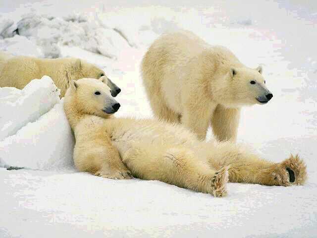 File:Polar-bear.jpg