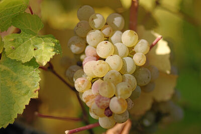 Riesling grapes leaves