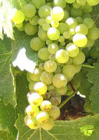 File:Viognier1.png