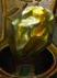 File:Transmuting Gold Ore.png