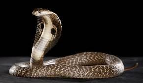 File:Cobrasnake.jpg