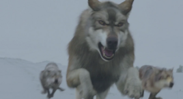 WB Wolf 70