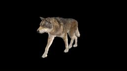 WB Wolf 44