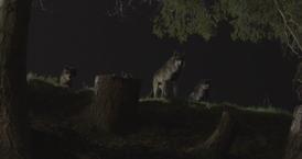 WB Wolf 65