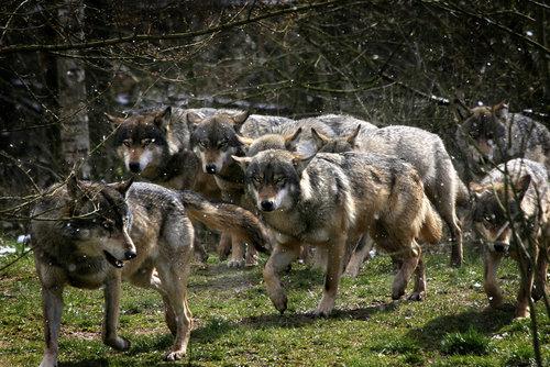 File:Wolf pack.jpg
