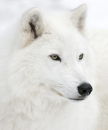 File:White Wolf 26105013 std.jpg