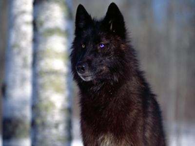 File:Ws Black Wolf 1152x864.jpg