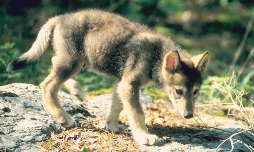 File:Wolfpup.jpg