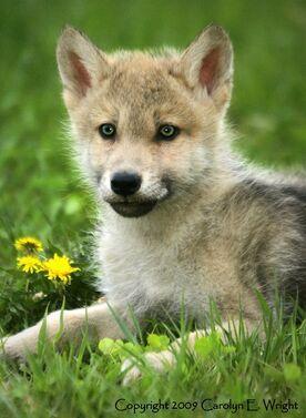 Blossomwolf
