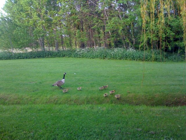 File:Geese.jpg