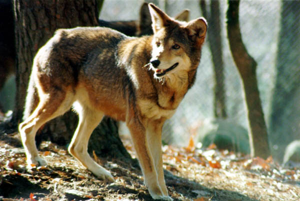 File:Red wolf.jpg